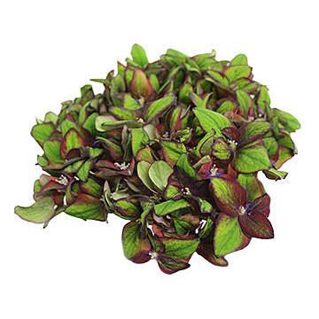 macrophylla Green Star 360x360px