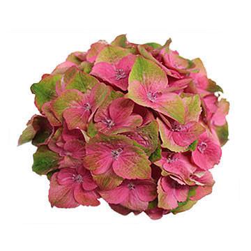 macrophylla Imola 360x360px