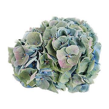 macrophylla Margarita Classic 360x360px