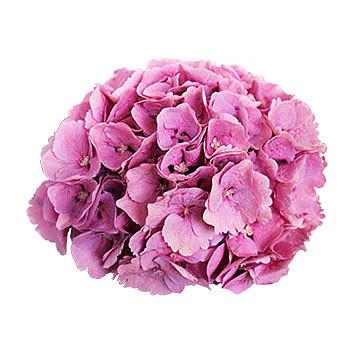 macrophylla Margarita (roze) 360x360px