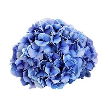 macrophylla Vendetta (blauw) 360x360px