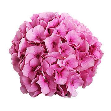 macrophylla Vendetta (roze) 360x360px